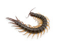 Centipede Royalty Free Stock Photo