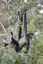 Central american spider monkey or geoffroys spider monkey atele ateles geoffroyi single mammal on branch Stock Photos