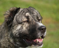 Central Asia Shepherd Dog portrait Royalty Free Stock Images