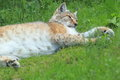 Central asian lynx the lying Stock Photos