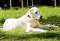 Central asian shepherd dog a young beautiful white sitting on the grass looking lazy and aloof the ovtcharka is a Royalty Free Stock Photos
