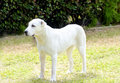 Central asian shepherd dog a young beautiful white standing on the grass the ovtcharka is a large robust usually Royalty Free Stock Images