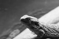 Central bearded dragon picture of a in black white Stock Photography