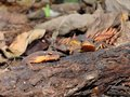 Central newts peering over a log Royalty Free Stock Photo