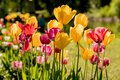 Tulips in the Central Park of culture and recreation in St. Petersburg. Royalty Free Stock Photo