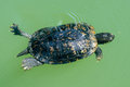 Central park new york turtle while swimming Royalty Free Stock Photo