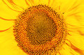 Central part of sunflower Royalty Free Stock Photo