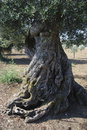 Centuries-old olive tree Royalty Free Stock Photography