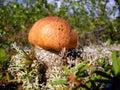 Cep against a moss Stock Photos