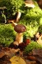 Cep mushroom Stock Photos