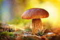 Cep mushroom growing in autumn forest boletus Stock Images