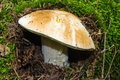Cep which grows in autumn wood Royalty Free Stock Photography