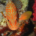 Cephalopholis miniata - Red Sea Royalty Free Stock Images