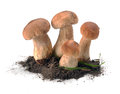 Ceps mushrooms in the ground Royalty Free Stock Images