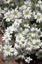 Cerastium tomentosum closeup of large cluster of small white snow in summer flowers on a sunny summer day Royalty Free Stock Images
