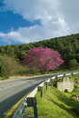 Cercis and  Road Stock Photos