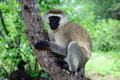 Cercopithecus aethiops also known as vervet monkey in southern kenya sitting on tree Royalty Free Stock Image