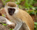 Cercopithecus Aethiops Vervet monkey Stock Photos