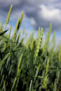 Cereal crops Stock Images
