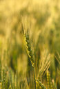 Cereal ear close up of rye over ripe crop field background Stock Photo