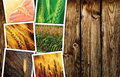 Cereal plant farming in agriculture photo collage Royalty Free Stock Photo