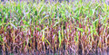 Cereal plants forming a background horizontal Stock Images