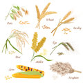 Cereal Plants vector icons illustrations. Oats wheat barley rye millet rice sorghum corn set.
