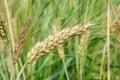 Cereal plants wheat macro photography summer day season Royalty Free Stock Photo