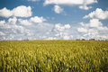 Cereals field and blue sky with clouds Royalty Free Stock Image