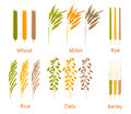 Cereals plants set. Carbohydrates sources