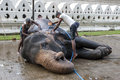 A ceremonial elephant at the sacred tooth relic comlex in kandy sri lanka is scrubbed clean by its mahouts temple of prior to Stock Photo