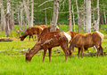 Cerfs communs d alaska Photos stock