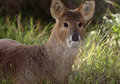 Cerfs communs de Fanged Image stock