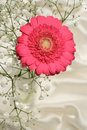 Cerise pink gerbera flower and baby breath silken cloth background Stock Image