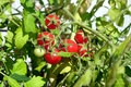 Cerry tomatoes grows on branch deep in the garden in sunny summer day horizontal view