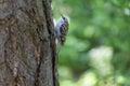 Certhia familiaris is sitting on a tree