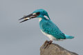 Cerulean kingfisher capture a fish Royalty Free Stock Image