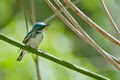 Cerulean warbler a curious little perched in a tree Stock Images
