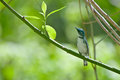 Cerulean warbler a curious little perched in a tree Stock Photo