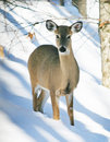 Cervos de Whitetail na neve Foto de Stock Royalty Free