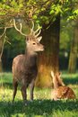Cervus nippon male and female Royalty Free Stock Photo