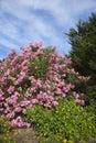 Cespuglio dentellare di fioritura del Oleander. Immagini Stock