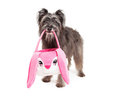 Cesta pirenaica da páscoa de dog carrying an do pastor Fotografia de Stock