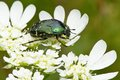 Cetonia aurata beetle in spring nature croatia Stock Photography