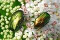 Cetonia aurata beetles Royalty Free Stock Photo