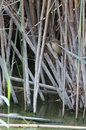 Cetti s warbler in the reed a cettia it typical habitat dense vegetation of canes and near water surface of a lagoon Stock Images