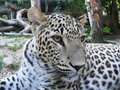 Ceylon Leopard Royalty Free Stock Images
