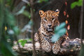 Ceylon leopard lying on a wooden log Royalty Free Stock Photo