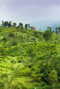 Ceylon tea plantation Royalty Free Stock Photos