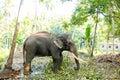 Ceylon wild elephant in tropical jungle